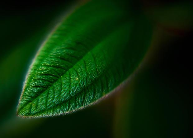 Trebuchiana Leaf.jpg