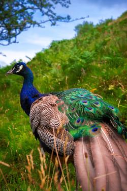 Peacock at Talisker House