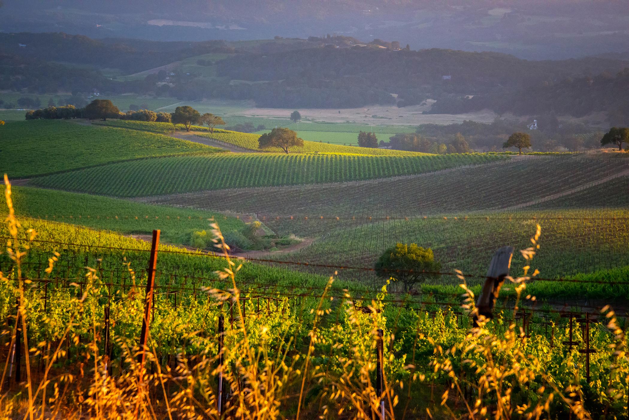 A Napa Valley Vineyard 4