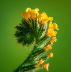 Spring Flower Macro-Fiddleneck.jpg