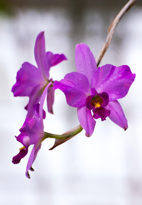 three Laelia orchids