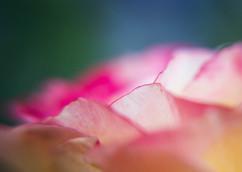 Spring Flower Macro-Rose Abstract-7.jpg