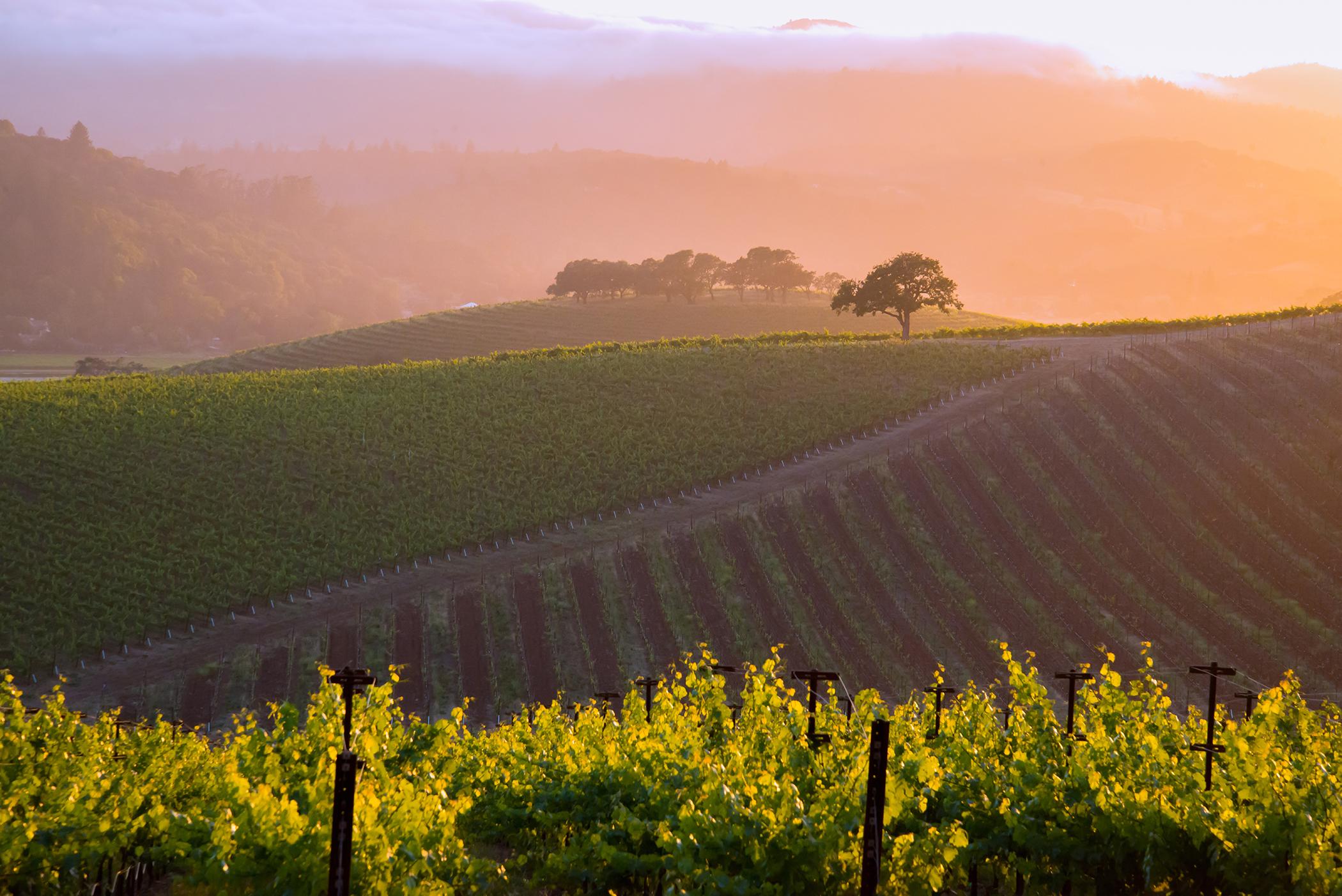 A Napa Valley Vineyard 1