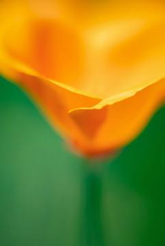 Spring Flower Macro-Golden Poppy-5.jpg