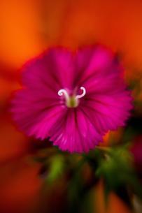 Dianthus Deltoid-Pink Maiden II.jpg