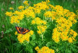A butterfly in Skye