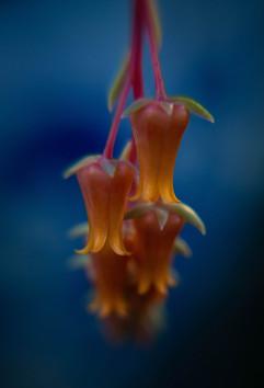 Spring Flower Macro-Echeveria Elegans.jpg