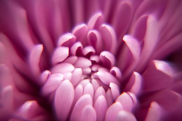 Dahlia macro.jpg