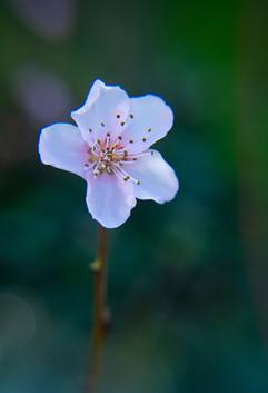 Spring Flower Macro-Peach Blossom-3.jpg