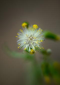 Spring Flower Macro-Dandelion.jpg