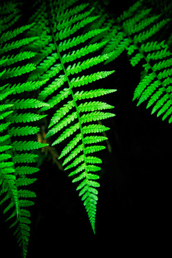 Common lady fern