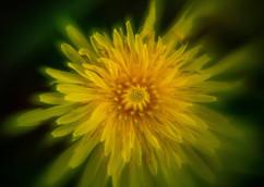 Spring Flower Macro-Dandelion-2.jpg