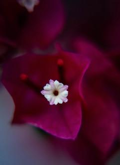 Spring Flower Macro-Bougainvillea.jpg