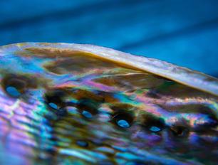 Abalone Shell.jpg