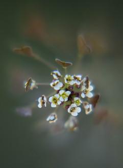 Spring Flower Macro-Sweet Alyssum.jpg