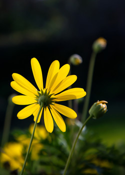 yellow Daisy stem