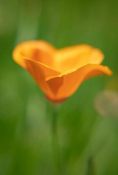 Spring Flower Macro-Golden Poppy-6.jpg