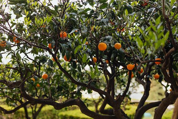 kaboompics_An orange tree in the garden