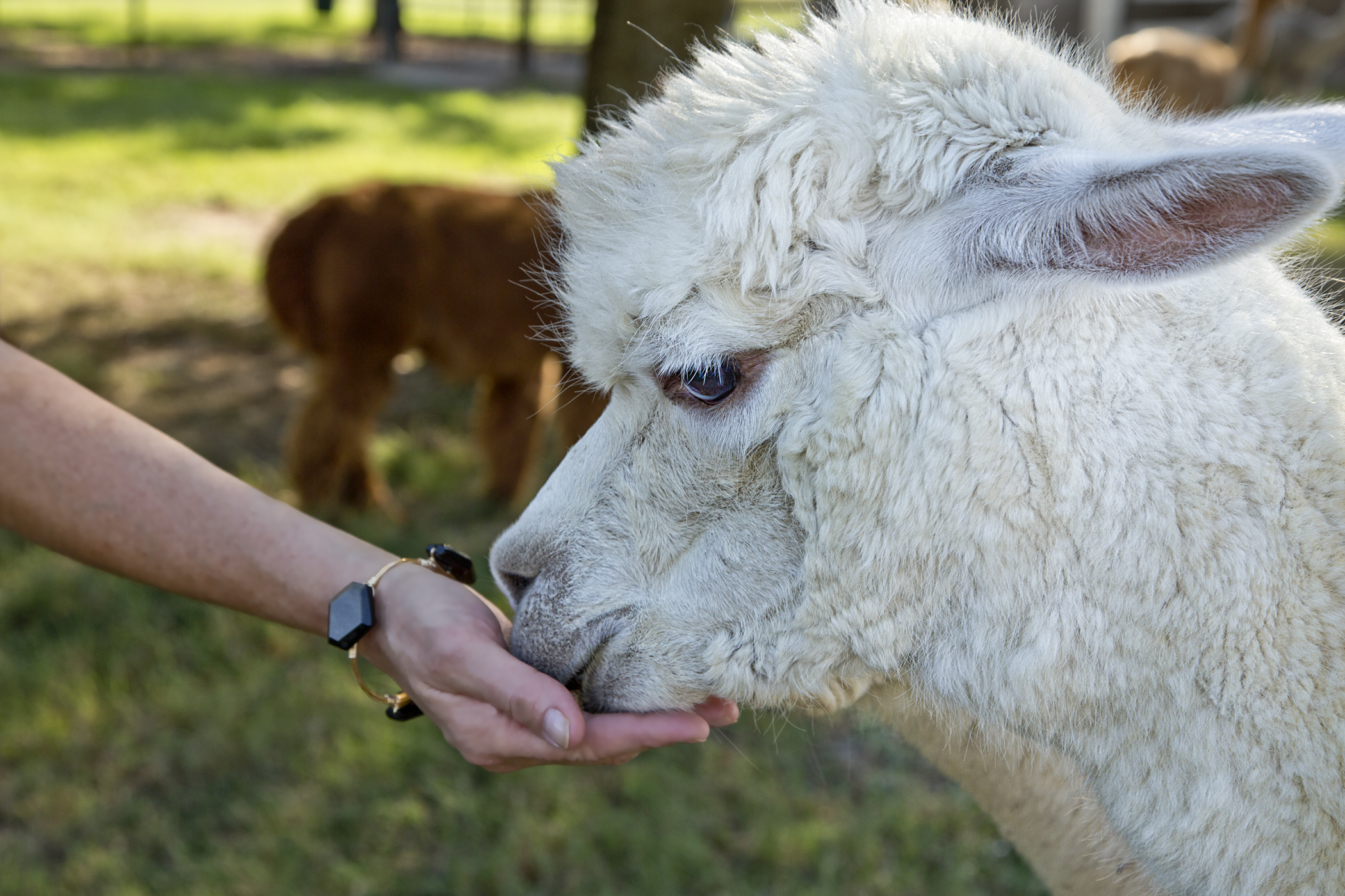 0141 Laura Feeds Alpaca.jpg