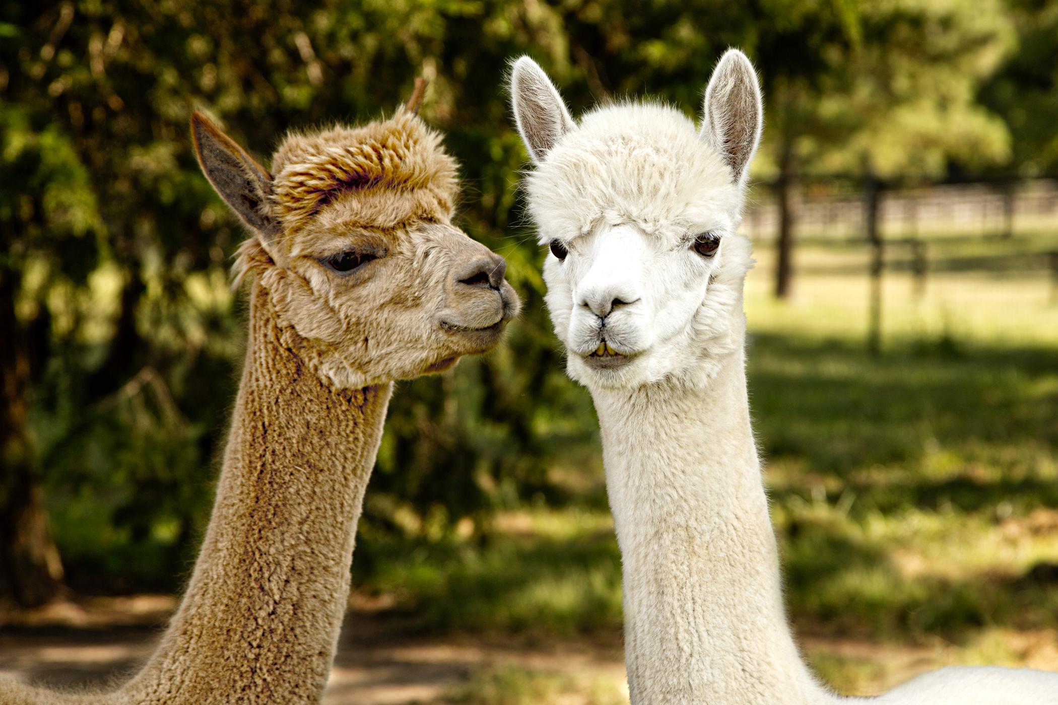 0110 Two Alpacas.jpg