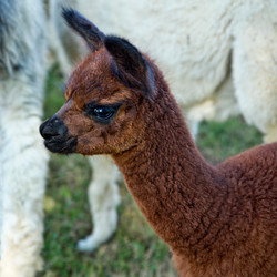 0127 Baby Brown Alpaca.jpg