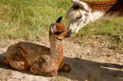 0146 Baby Adult Alpacas Rub Noses.jpg