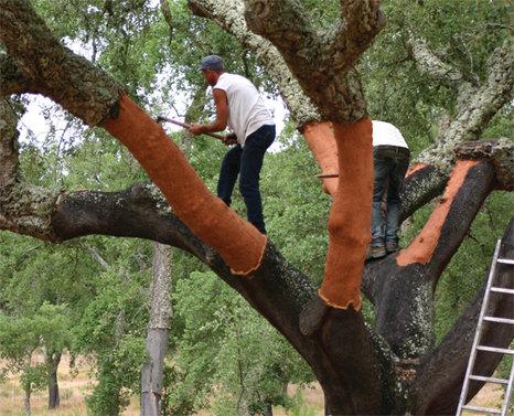 Cork Harvest in Portugal