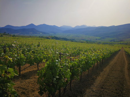 Vineyards in Koutsi