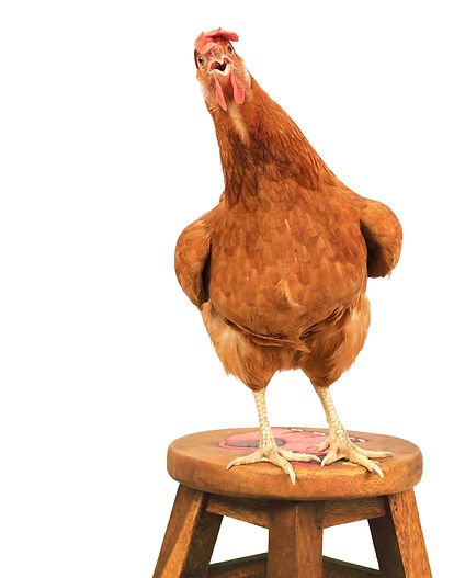 Hen on a Stool. Johnsons Fresh Farm Eggs, Egg Suppliers in York