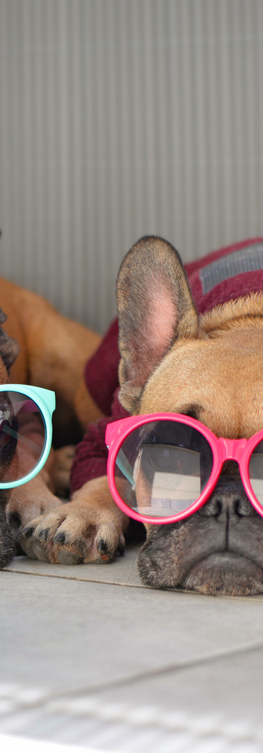 Two funny brown small French Bulldog dog