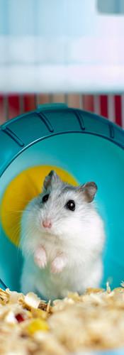 light hamster in a caged wheel.jpg