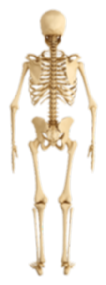 Back-Skeleton-Human-Anatomy.png