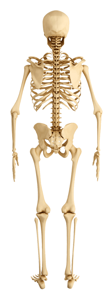Back-Skeleton-Human-Anatomy.png