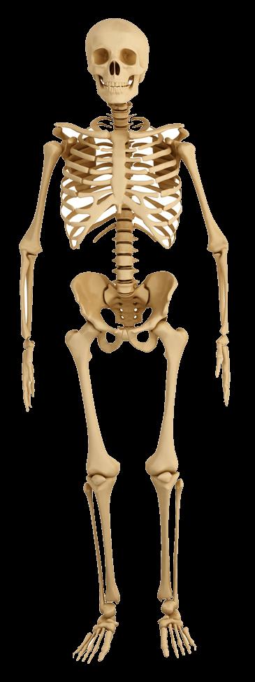 Front-Skeleton-Human-Anatomy.png