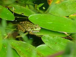 La grenouille prépare ses ressorts