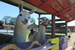 les lamas.jpg