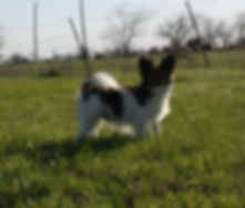 papaillon puppies for sale /papillon breeders