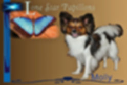 papillon puppies for slae/papillon breeders