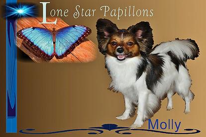 papillon puppies for slae/papillon breeders