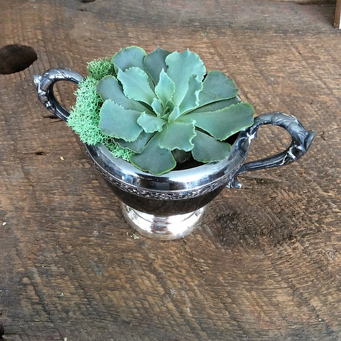 succulent plant in silver