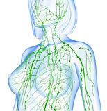 reflexology-lymph-drainage-rld-lymphatic system