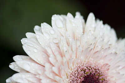 daisy-close-up-with-dew-drops.jpg