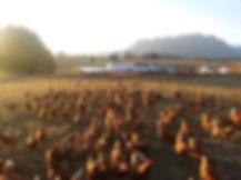 mount roland free range eggs.jpg