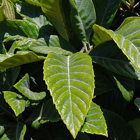 loquat-leaf.jpg