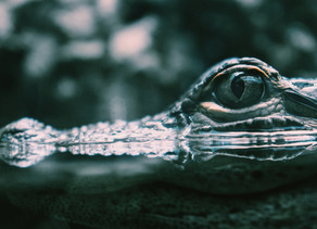 Crocodile Blood: Could be the New Source for Antibiotics and HIV Cure.