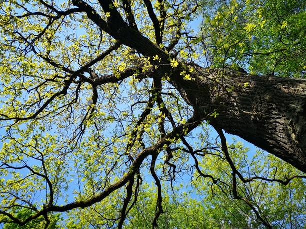 Kvietimas dalyvauti konkurse dėl 15-os ąžuolų arboristinio tvarkymo paslaugų Kaune ir Vilniuje
