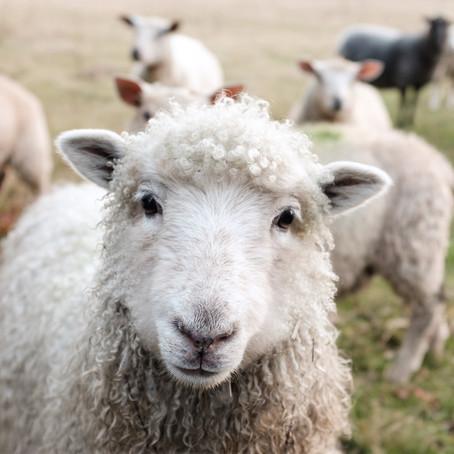 Merinowolle - die feinste unter den Schafswollen