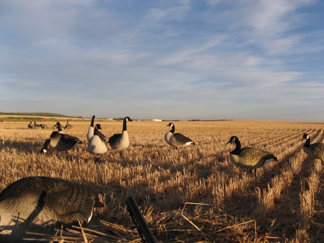 First rate decoys.