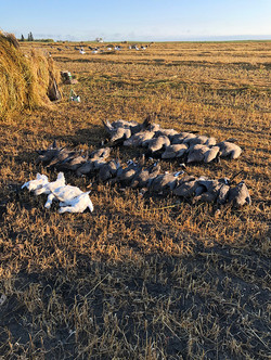 Even some snow geese.