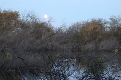 Mallards by moonlight